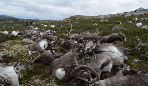 323 reindeer killed by lightning on Hardangervidda